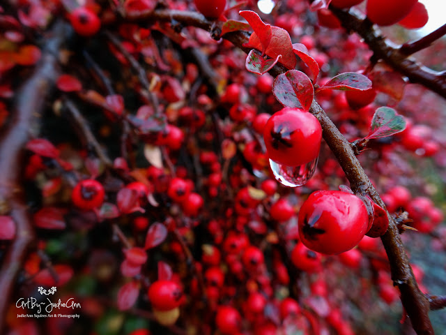 Cotoneaster Photo