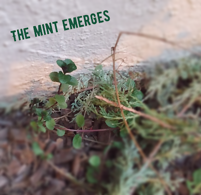 mint growing in winter