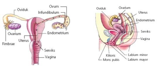 Celana ketat dapat Menimbulkan Penyakit Pada Organ Reproduksi