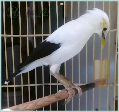 kali ini kita akan sedikit mengulas burung jalak atau memperkenalkan bagi yang memang bel Mengenal Burung Jalak Putih