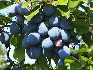 cara-makan-buah-plum.jpg