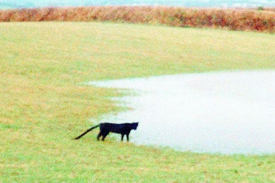 'The Beast of Bodmin' or another big cat is a crude digital manipulation