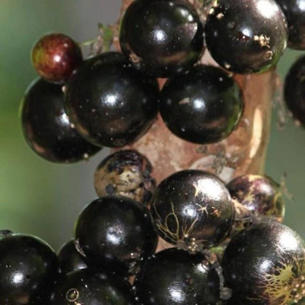 bibit anggur pohon terlaris Tanjungbalai