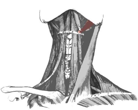 Imagen que resalta el músculo estilohioideo