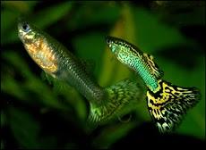 Ikan yang cocok untuk Aquascape