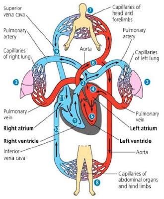 Struktur Peredaran Darah Manusia - berbagaireviews.com