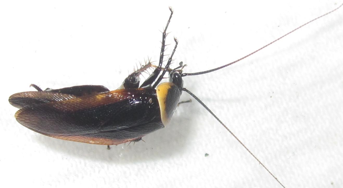 Hemithyrsocerapalliata%252323.JPG