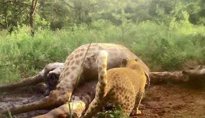 Macan tutul stroberi memakan jerapah mati.