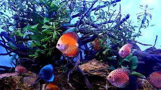Beautiful Discus Community Aquarium Background