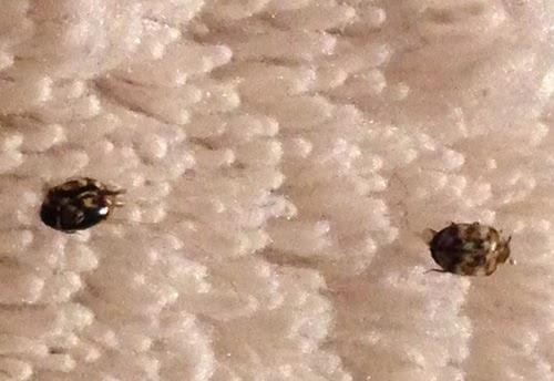 Carpet Beetles In My Bedroom Www Stkittsvilla Com