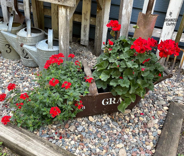 Photo of a rusty grain scoop with verbena and geraniums.