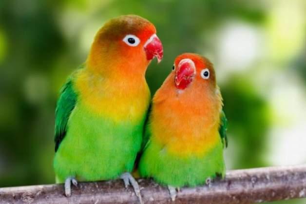 Manfaat Khasiat Gula Merah Untuk Lovebird Harilibur Me