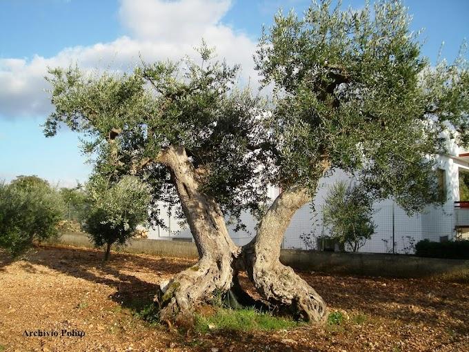 Giornata ulivi Unesco, 250 mln di piante da salvare