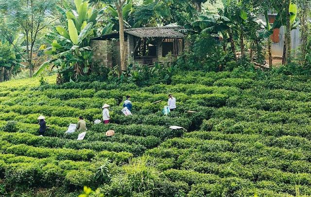 Tan Cuong tea hill at dawn 2