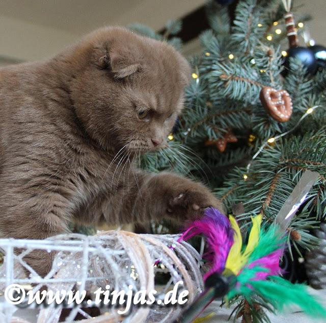 Katzenbaby Scottish Fold 16 wochen 2016