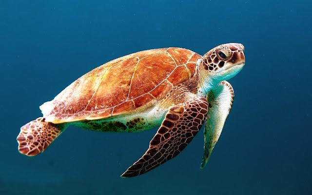 water turtle swimming hd