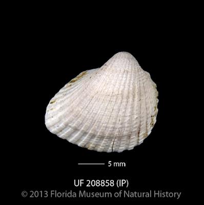 Canaveral National Seashore, Cocoa Beach Pictures, East Coast, East Coast Beaches, Florida, Florida Beaches, Florida's East Coast, Sea Shells, Seashells, Coquina, Coquina shells,