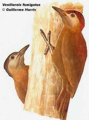 Carpintero oliva oscuro Picoides fumigatus