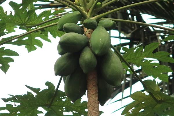 apa kebaikan buah betik