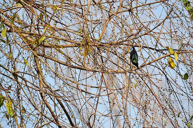 Buah hutan yang menjadi tumpuan beberapa jenis burung seperti Asian Glossy Starling Common Iora dan Chesnut Checked Starling.