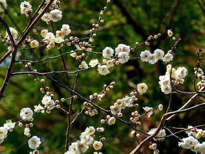 White Ume (Prunus mume) flowers: Engaku-ji
