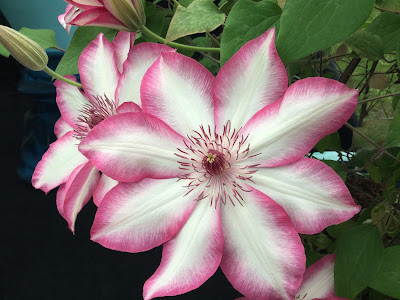 Pic of large white with pink trim Clematis flowers, buds and leaves