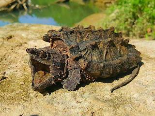 merawat-kura-kura-alligator.jpg