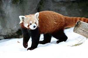 Red panda walking in the snow