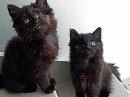Two black long-haired kittens each with an eye missing