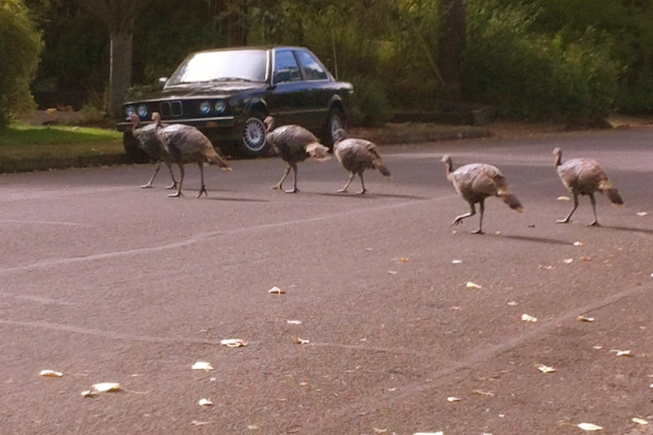 wild turkey, turkey, turkeys, Eugene, Oregon, Thanksgiving, autumn, fall, November