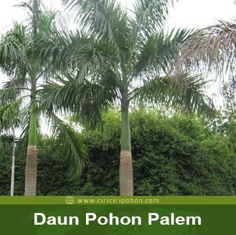 ciri ciri pohon daun palem