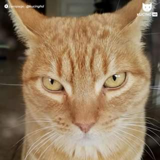 foto kucing oren barbar