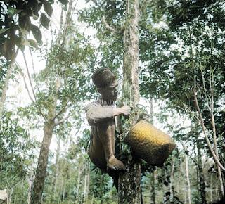 proses mendapatkan getah dari pohon benzoin atau haminzon