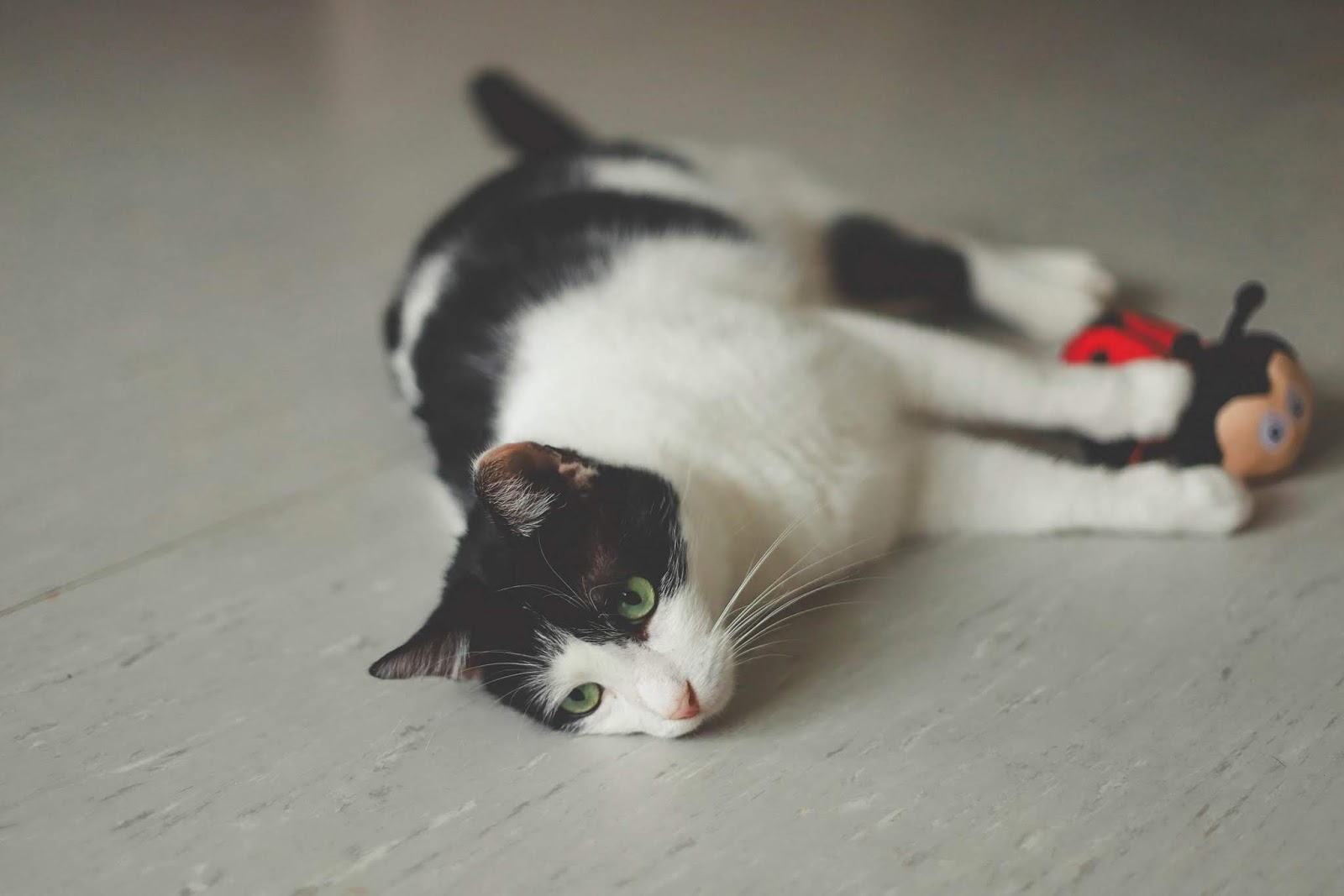 lying white and black cat with ladybug toy on white surface,cat images