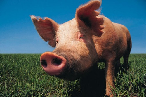 Hearts On Noses A Mini Pig Sanctuary