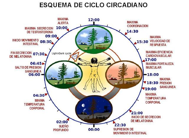 [Image: ciclo%2Bcircadiano.jpg]