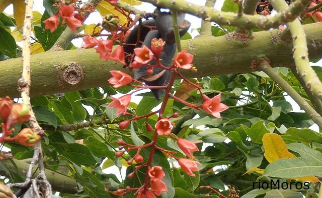 Flores del árbol de la llama Brachychiton x roseus