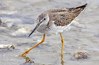 Greater yellowlegs, Morro Bay, CA - Nov. 2007, by 'Mike' Michael L. Baird