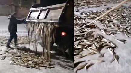 Ikan navaga 'dibuang' di jalan