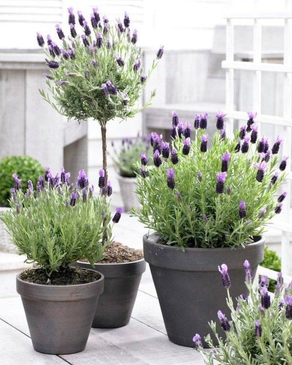 Planting Lavender In Pots