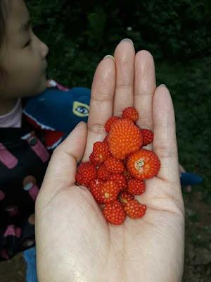 quả mâm xôi đỏ mọc tự nhiên trong rừng việt nam