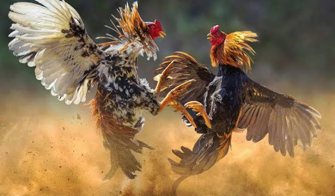 polisi tewas diserang ayam jantan saat grebek tempat sabung ayam
