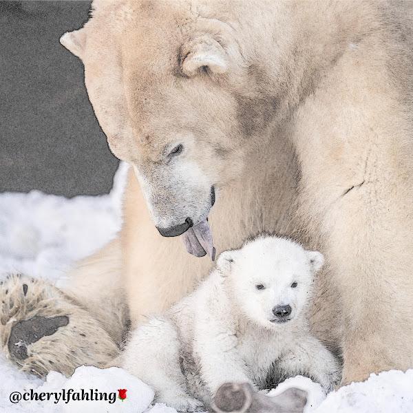 Polar Bears 🐻❄️