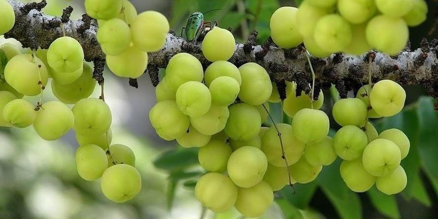 Bibit Pohon Cereme Buah Ceremai Cerme Cipta Lestari Herb Bangka Belitung