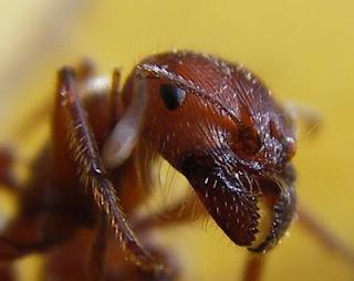 Невероятные факты о муравьях