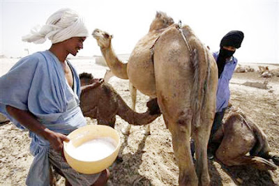 Camel milk production