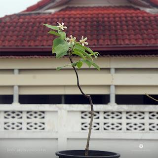 ปลูก ต้นโมกมัน (Wrightia pubescens) ให้ออกดอกในกระถาง