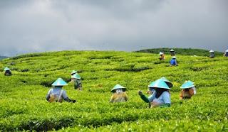 kebun teh yang berada di perkebunan dataran tinggi