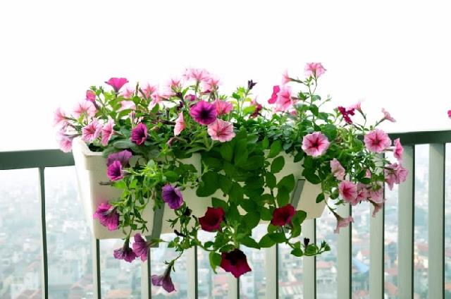 ảnh đẹp hoa dạ yến thảo 3