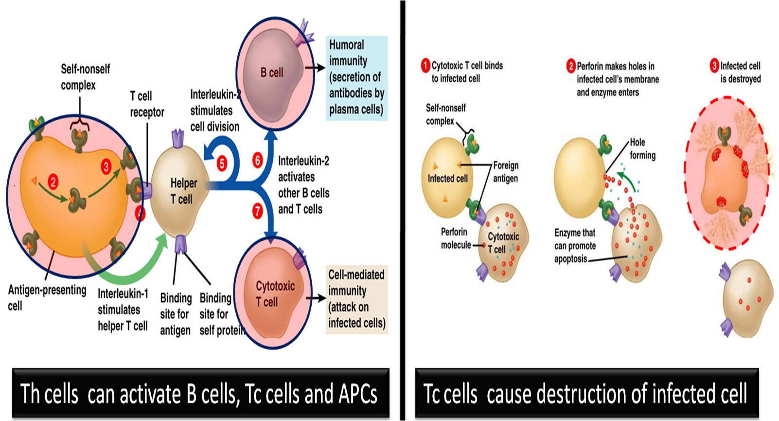 Th cells and Tc cells